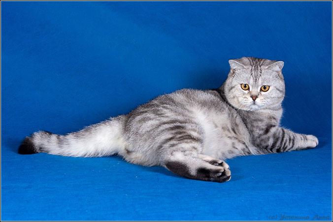 Британские коты британские кошки